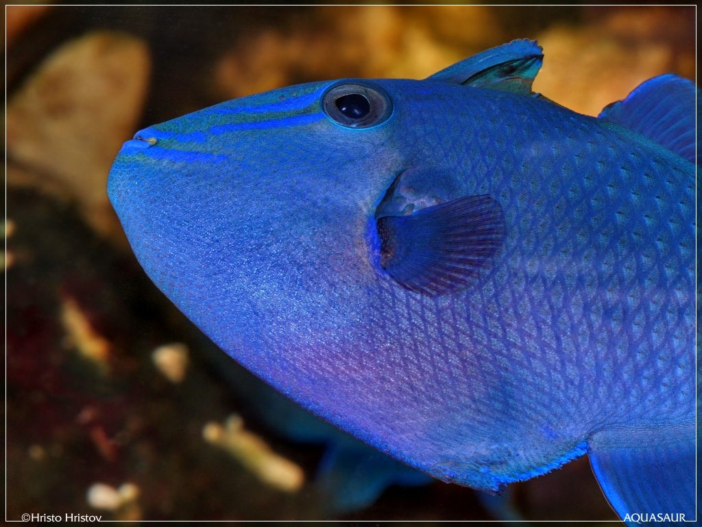 aquafanat.com.ua-redtoothed-triggerfish-5